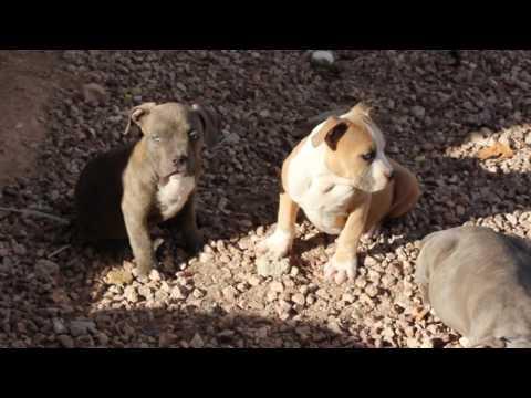 Logan block kennels American bully pups at 11 weeks old Gotti/Razors Edge