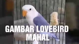 Gambar  Lovebird TERMAHAL