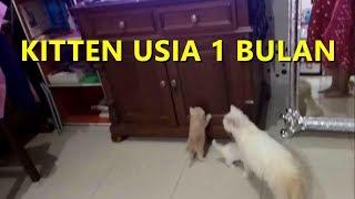 BAYI KUCING PERSIA MEDIUM USIA 1 BULAN with Subtitle   VLOG #161