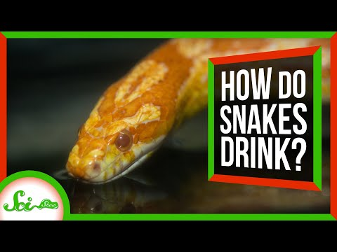 Snakes Use Their Spongy Mouths to Drink