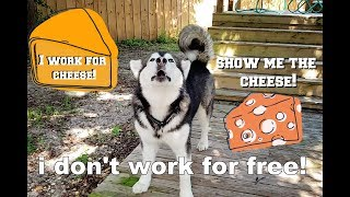 My Dog Argues With Me | Obedience Fail | He jumps In Pool
