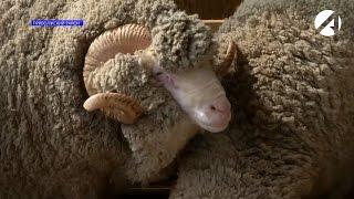 «Астрахань 24» о фаворитах всероссийской выставки племенных овец и коз