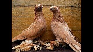 Декоративные Узбекские малоносые двухчубые голуби. (Крым Евпатория) +79788981805