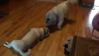 Pug & Shih-tzu Tug Of War