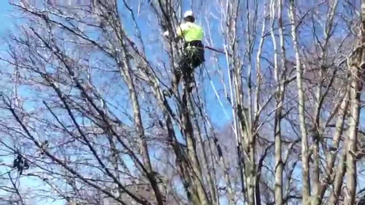 Pruning Bradford Pear Dublin