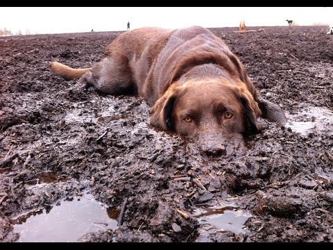 TOP 10 Labrador dog dirty play  - Funny dogs videos