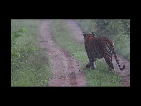 NAGARHOLE NATIONAL PARK - TIGER IN SEARCH OF PREY