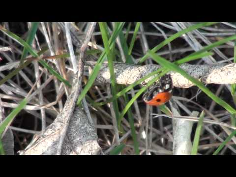 Seven-spotted Lady Beetle (Coccinellidae: Coccinella septempunctata)