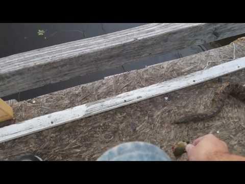 Feeding a wild diamondback watersnake