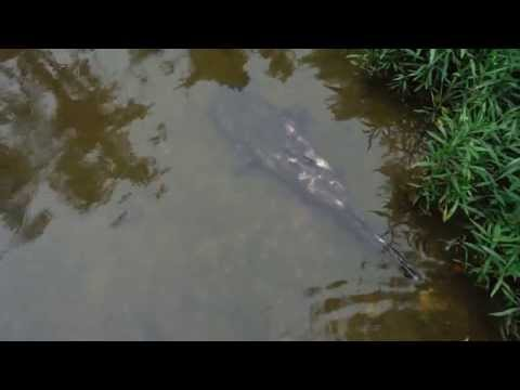 Flathead Catfish Recovering from Spawn from YouTube · High Definition · Duration:  1 minutes 46 seconds  · 3,000+ views · uploaded on 7/4/2013 · uploaded by ESBFishing