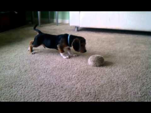 Beagle meets hedgehog