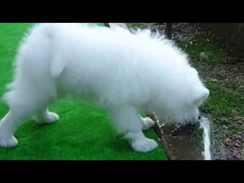サモエド犬スフレ 水の飲み方初級編
