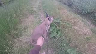 hunting with a trained caracal - training hunting-