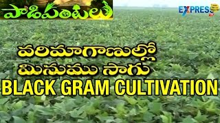 Rice Fallow Pulses : Black Gram Cultivation | Paadi Pantalu
