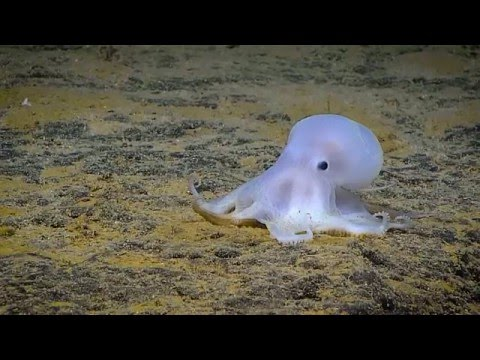 Your Earth Is Blue: Okeanos Explorer in Papahānaumokuākea Marine National Monument