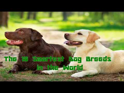 the-10-smartest-dog-breeds-in-the-world