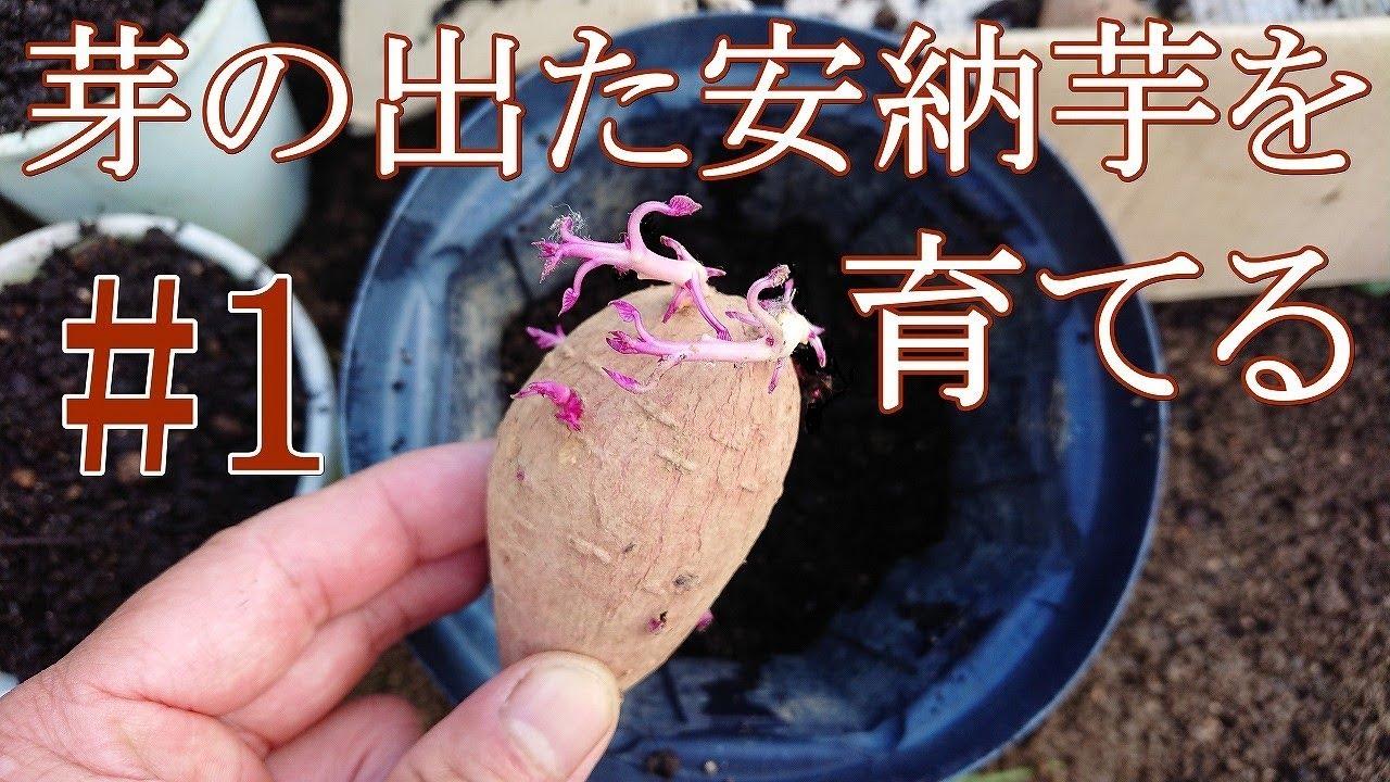 サツマイモ の 栽培 方法