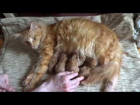 Котята мейн кун 1 день. Маленькие котята. Рыжие котята. Новорожденные котята