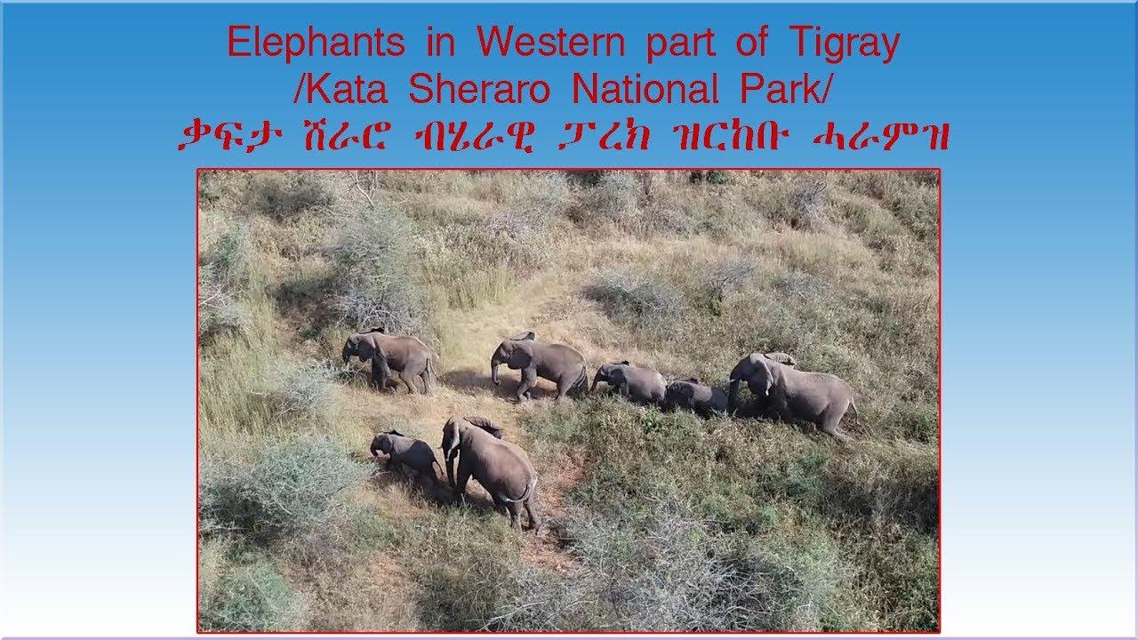 Elephants in Western Tigray /Kafta Sheraro National Park/ ቃፍታ ሸራሮ ብሄራዊ ፓርክ ዝርከቡ ሓራምዝ