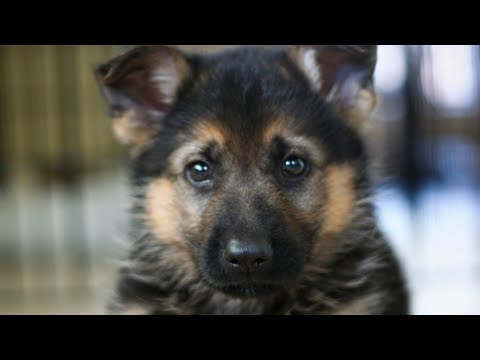German Shepherd Puppy obedience. Dunder's first tricks.