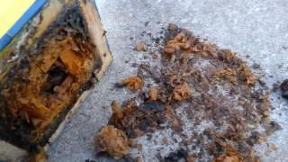 motivo de morte abelha jatai forte meliponario abelhas do sul