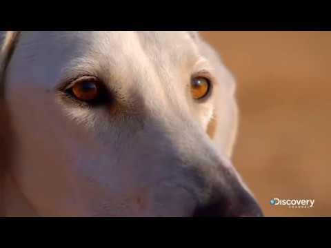 Персидская борзая или салюка | Жизнь собак | Discovery Channel