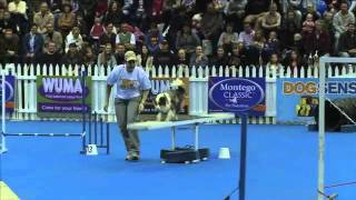 Sport News, Agility: Miniature Australian Shepherd Missile In Dog Agility Contest, South Africa