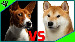 Shiba Inu Vs Basenji  Which is Better for You? Dog vs Dog