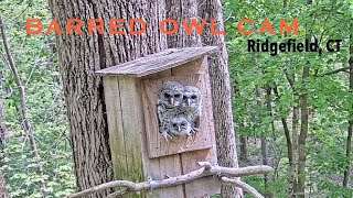Preview of stream Barred Owl Cam