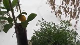 Видео 184 Комнатный лимон Павловский = петрушка круглый год(, 2017-02-12T16:07:03.000Z)