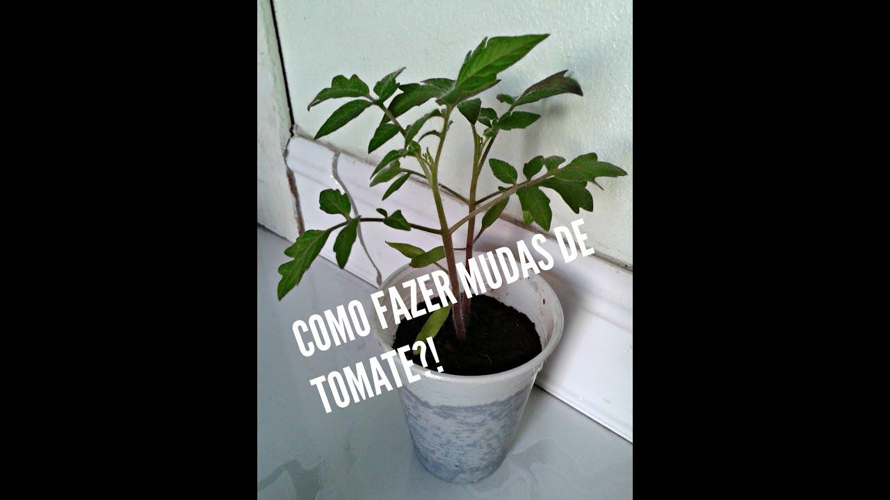 Como plantar tomates a partir da semente youtube for Como cultivar peces en casa