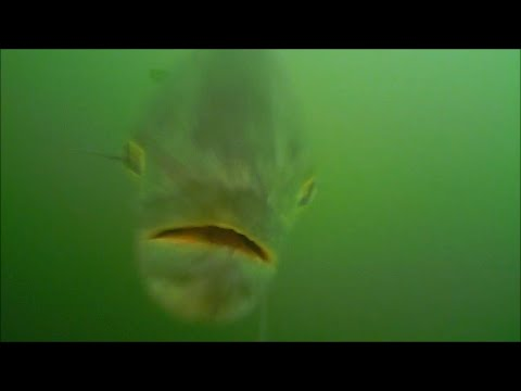Bluefish Attacking Lures Underwater View!