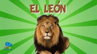 EL LEÓN, UN CAZADOR MUY DORMILÓN   Videos Educativos para Niños