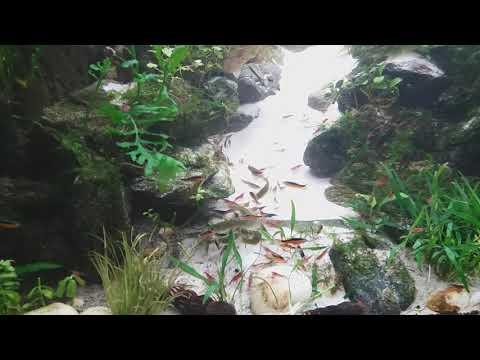 Dziki gupik endlera Santa Maria. 2020.01