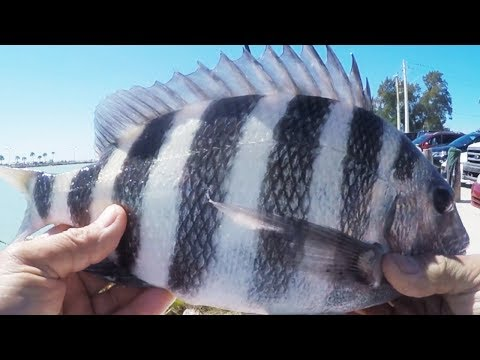 Catching HUNGRY  Sheepshead In Florida From Shore