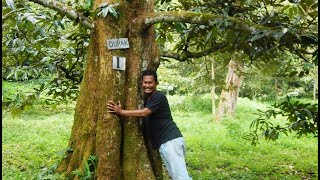 PECAH!!! Cara TERMUDAH Buka Durian DUPAK, TANPA Resiko LUKA!!! DIJAMIN!