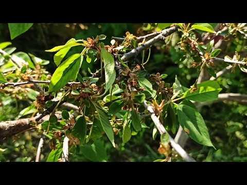 Монилиоз вишни. Срочно! Срочно!  С монилиозом вишни труднее справиться, чем с монилиозом абрикоса. | опрыскать | монилиоза | помогает | монилиоз | усыхают | деревья | сохнут | листья | лечить | гамаир