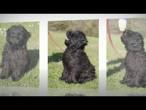 """""""Gethin"""" - large mini fleece black male PARTLY trained puppy available"""