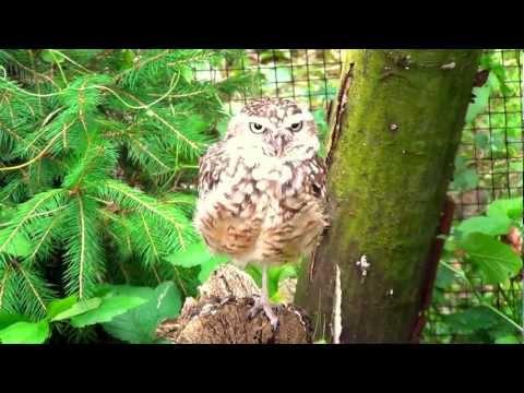 Burrowing Owl in Opole Zoo Pójdźka Ziemna w Zoo Opole