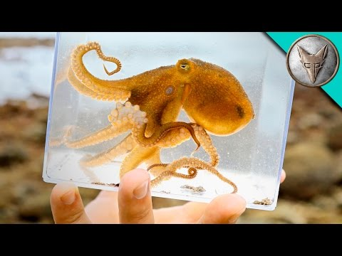 Incredible Octopus Catch!
