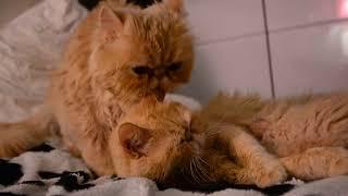 Папа-кот заботится о своей кошачьей семье (экзоты)