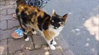 Cute calico cat meows and wants food