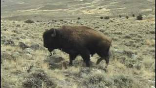 USDA APHIS Torture Testing Bull Bison for Brucellosis