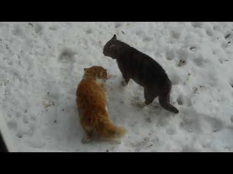 СТАЛЬНЫЕ НЕРВЫ! Разборка котов. Stray cats fighting.