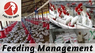 Feeding Management In Broiler Poultry Farming