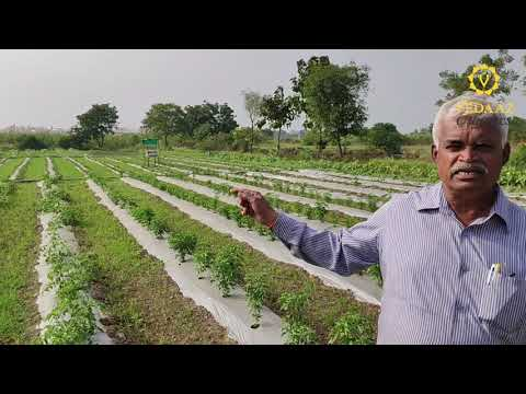 Organic Farming at Vedaaz Organics   Organic Vegetables & Fruits in Pune, Pimpri-Chinchwad