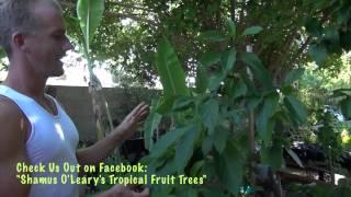 2nd Year Arizona Avocado Tree - Aravaipa Avocado