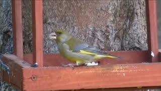 Зеленушка Greenfinch Carduelis Chloris Лесная канарейка