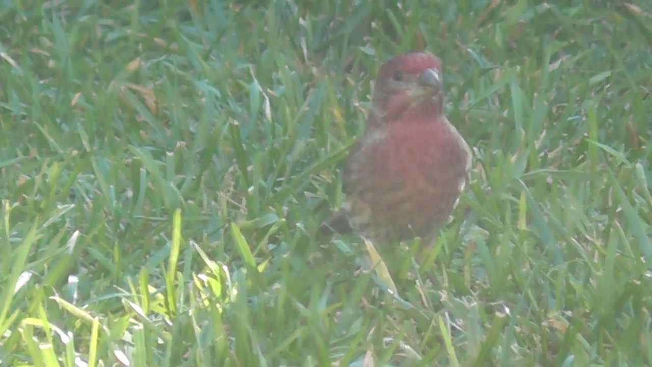 hd ruby red sparrow pretty bird finch cute beak rub backyard