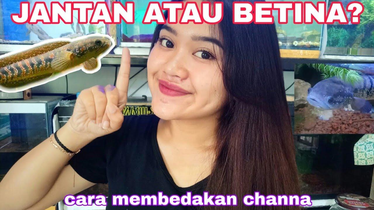 Cara Mudah Membedakan Jenis Kelamin Pada Ikan Chana Channa Asiatica Yunika Ajeng Youtube